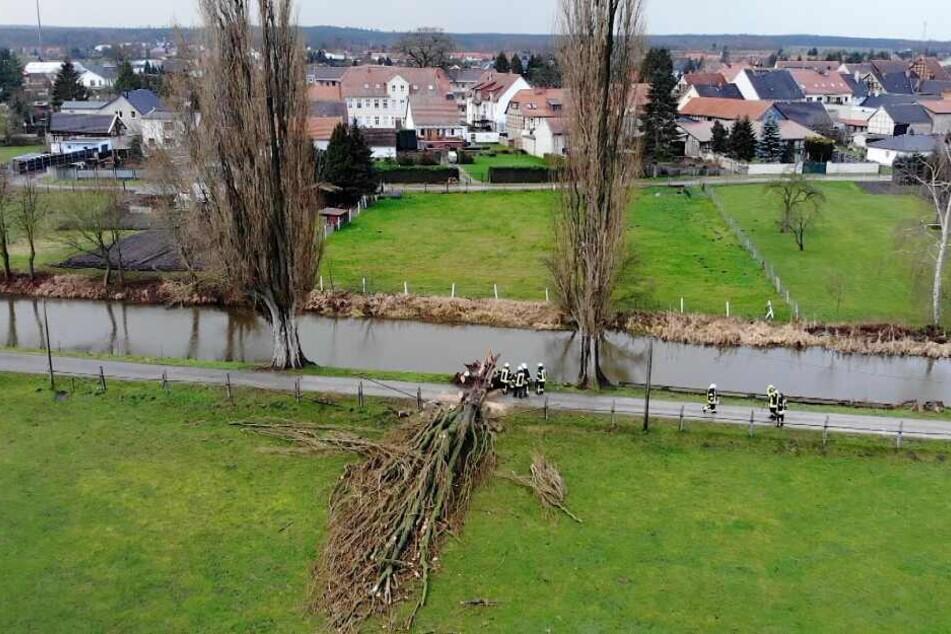 Im Landkreis Börde (Sachsen-Anhalt) wurde diese riesige Pappel entwurzelt.