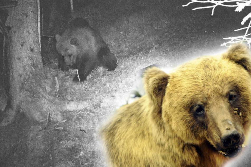 13 Jahre nach Bruno: Bär nahe der bayerischen Grenze ertappt