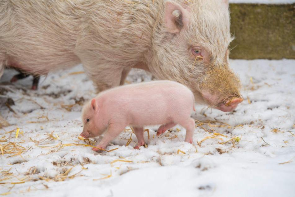 Das Minischweinchen geht im Schnee auf Erkundungstour.