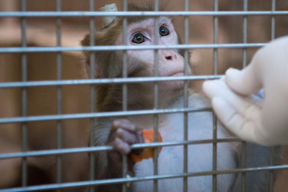 Tierversuche: Haben drei Männer Affen unnötig leiden lassen?