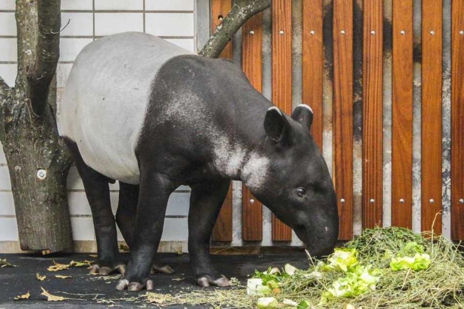 Schabrackentapir Ketiga bekommt ab jetzt Gesellschaft von Penang aus dem Tiergarten Rotterdam.