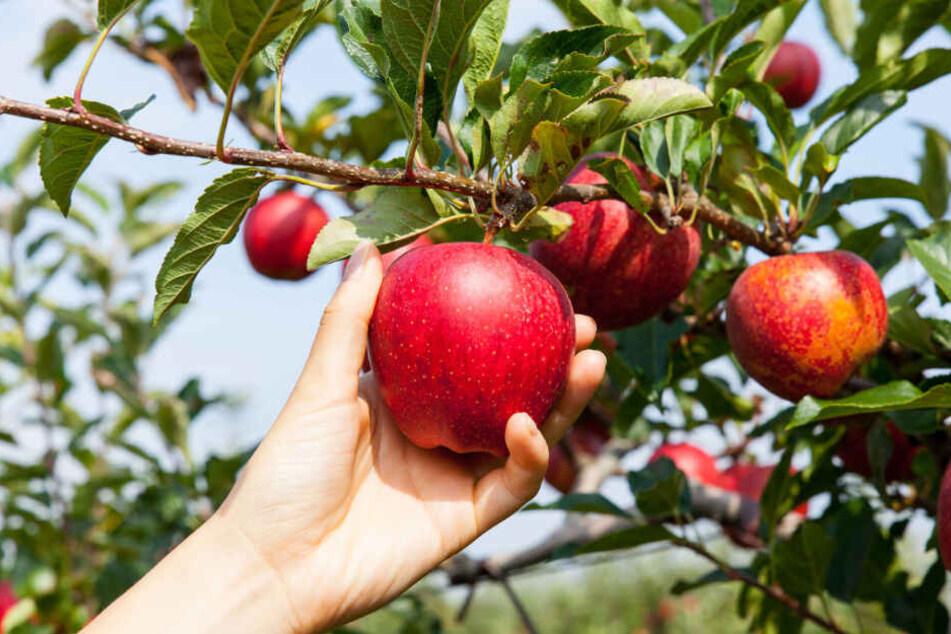 Ein kleiner Apfel im vorbei gehen, wird schon nicht schon schlimm sein? In der Masse sind die Schäden oft hoch. (Symbolbild)