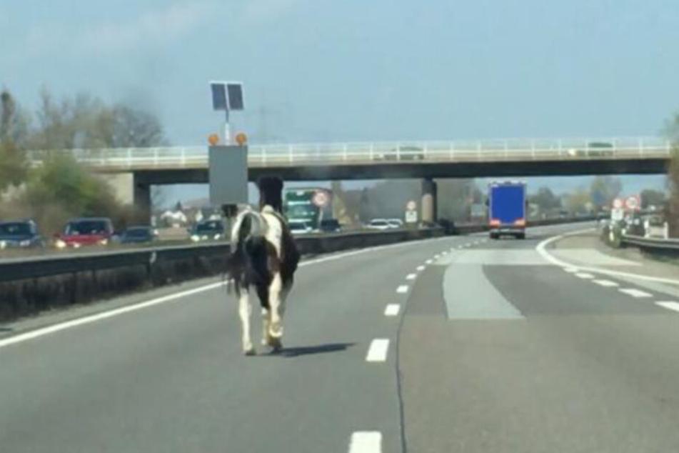 Ein ungewöhnlicher Anblick: Ein Pferd galoppiert auf der A61.