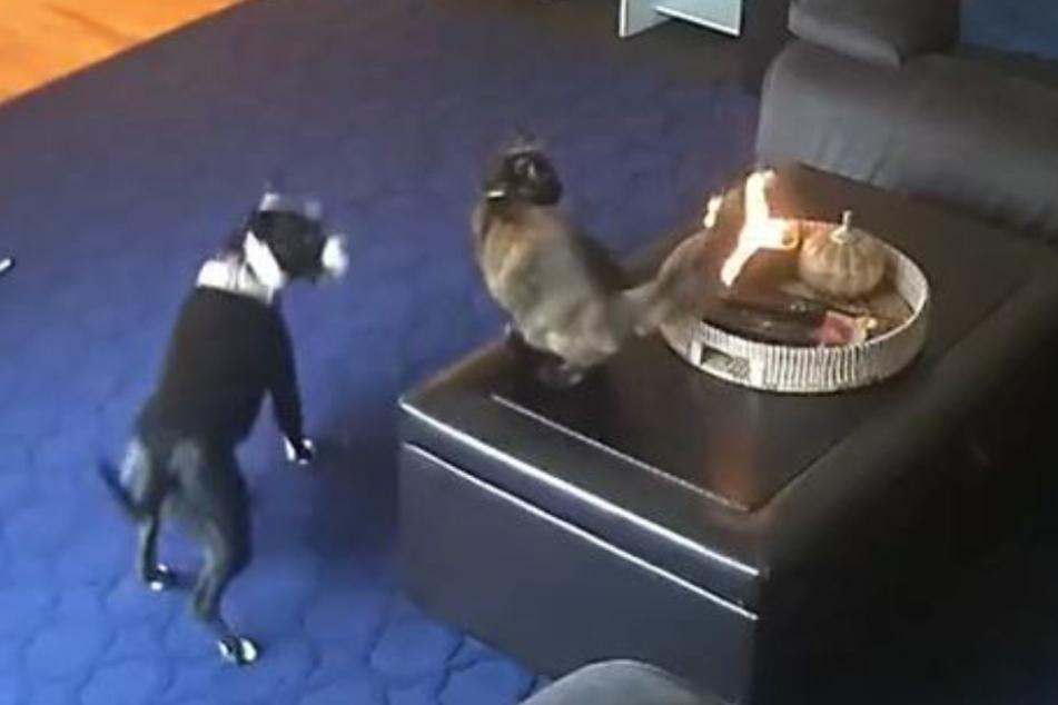 Die Katze setzte sich selbst in Brand und der Hund reagierte direkt nervös.