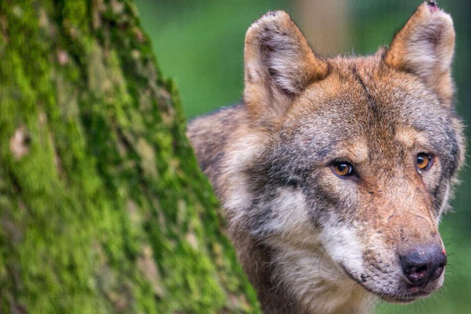 Die Spuren sprechen eine klare Sprache - und deuten auf einen Wolf hin. (Symbolbild)