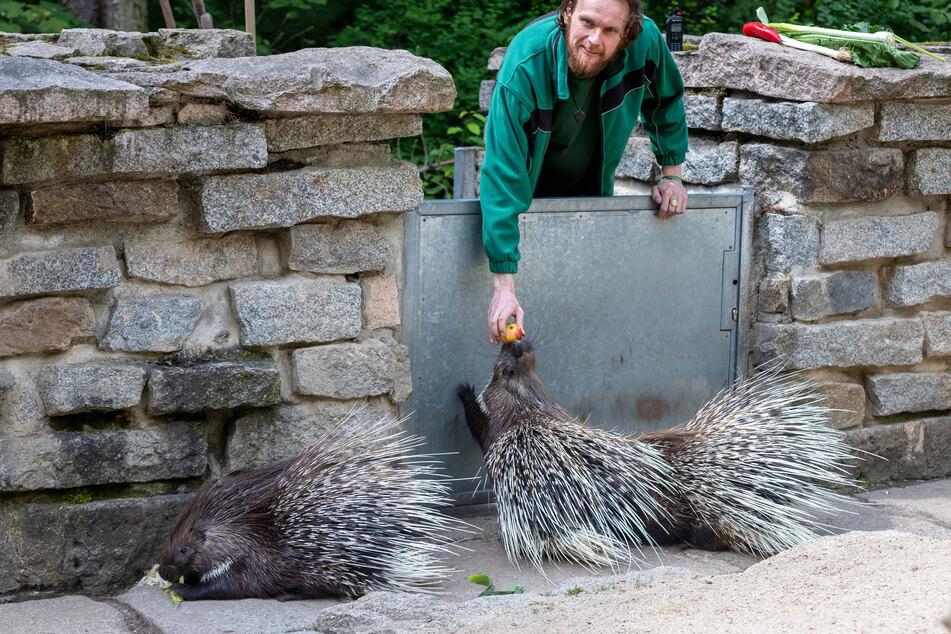 Stachelschweine fürchten sich nicht vor Hunden - vor allem dann nicht, wenn Tierpark-Pädagoge Jan Klösters (37) sie füttert.