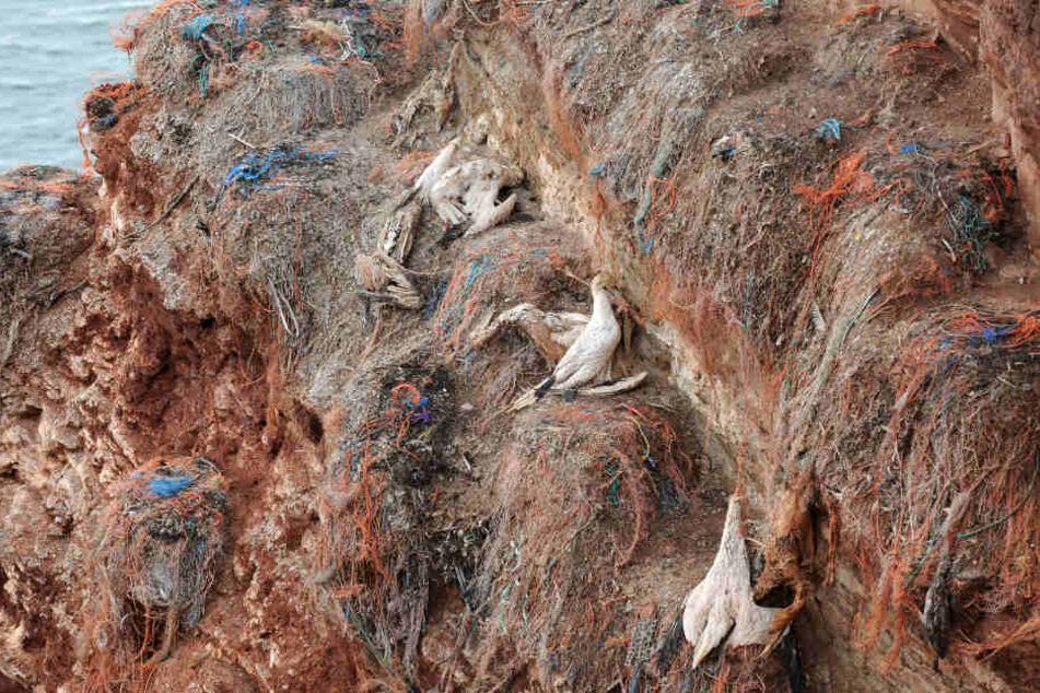 Drei Basstölpel haben sich in Plastikmüll verfangen und sind daran gestorben. (Archivbild)