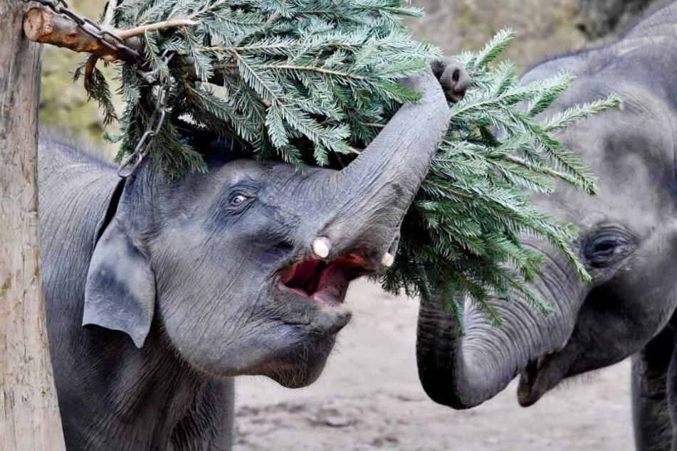 Dickhäuter im Zoo freuen sich über die alten Weihnachtsbäume