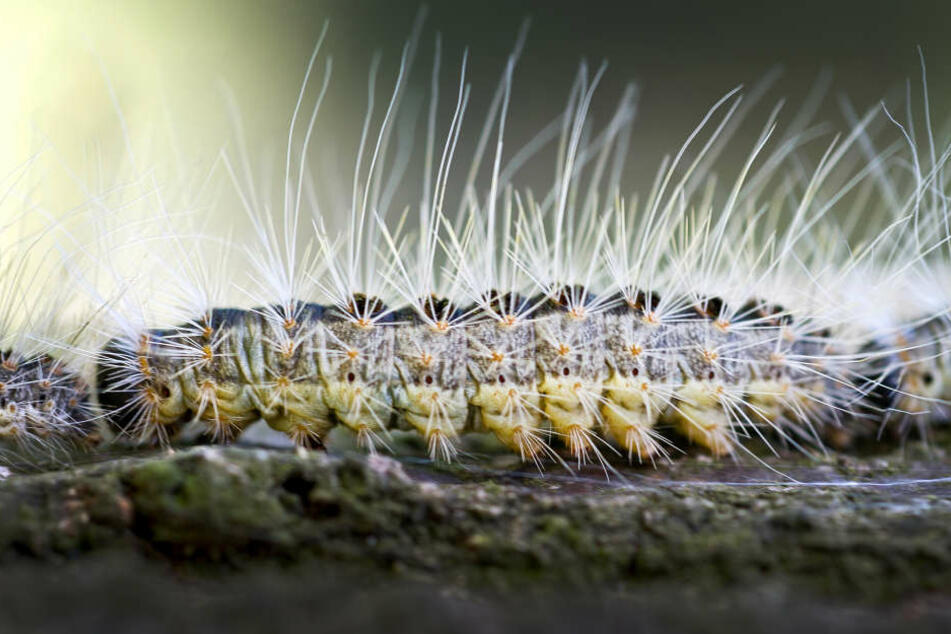 40 Nester des Eichenprozessionsspinners seien an der Johannes-Kepler-Schule in Neuhof gefunden werden. (Symbolbild)