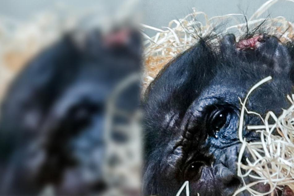 Tierschützer kämpfen für Bili: Zerbissener Bonobo soll neues Zuhause bekommen
