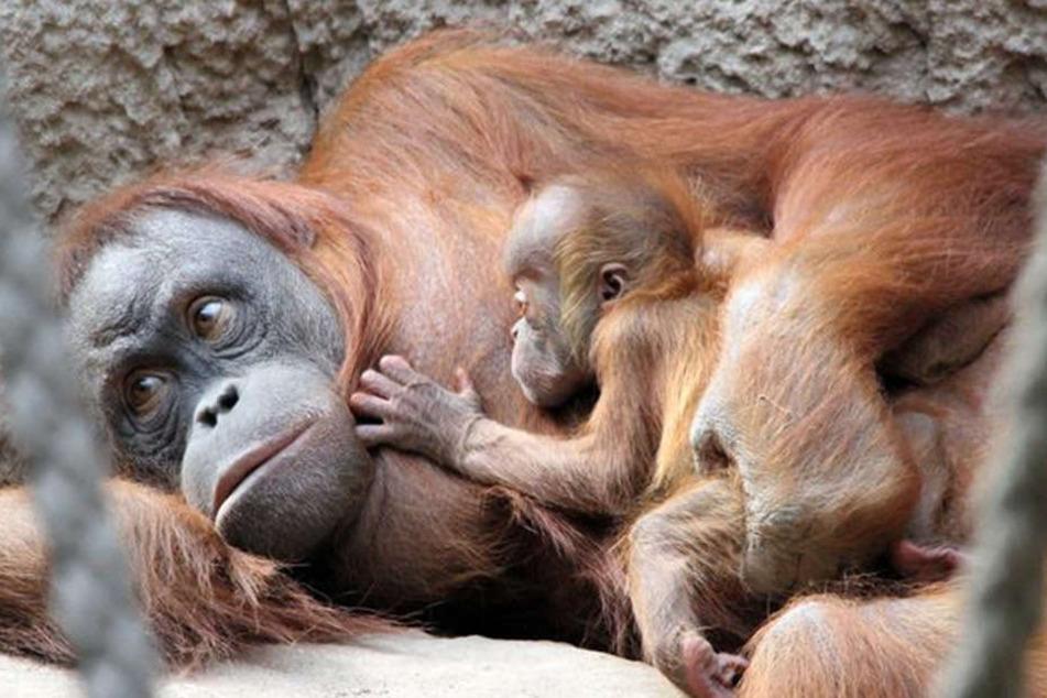 Sie hält im fest im Arm: Mutter Raja kümmert sich fürsorglich um ihren ersten Nachwuchs, Söhnchen Martok.