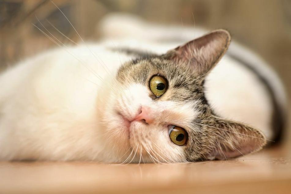 Eine Katze wurde nach fast 14 Jahren mit ihrem Besitzer wiedervereint. (Symbolbild)
