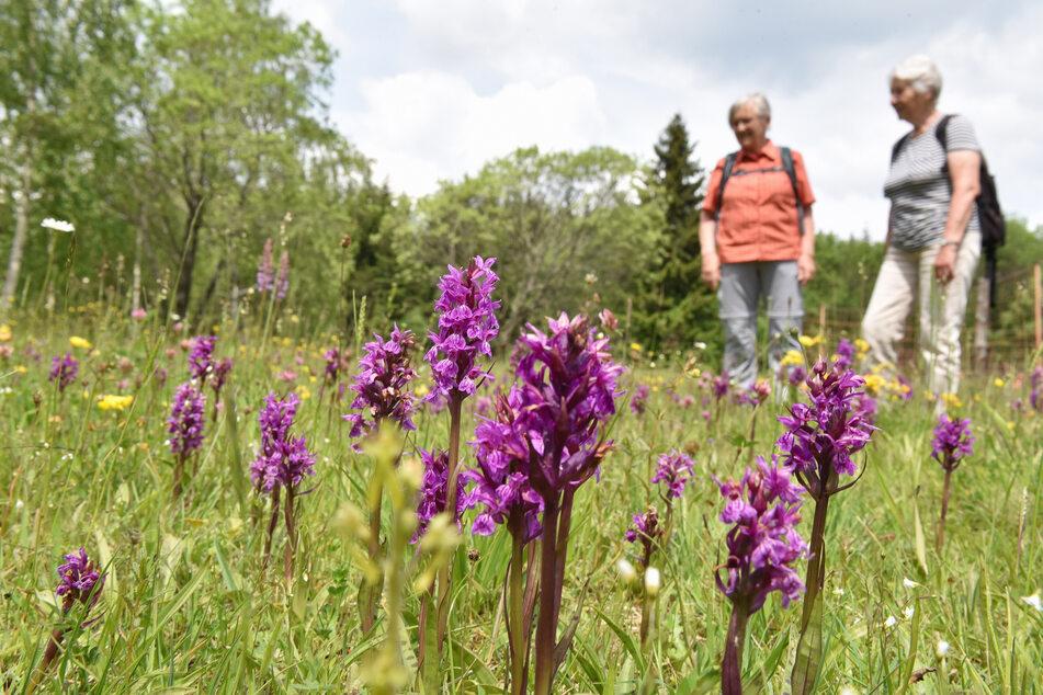 In sattem lila sticht gerade das Knabenkraut, eine Orchidee, aus dem Grün der Bergwiese heraus.