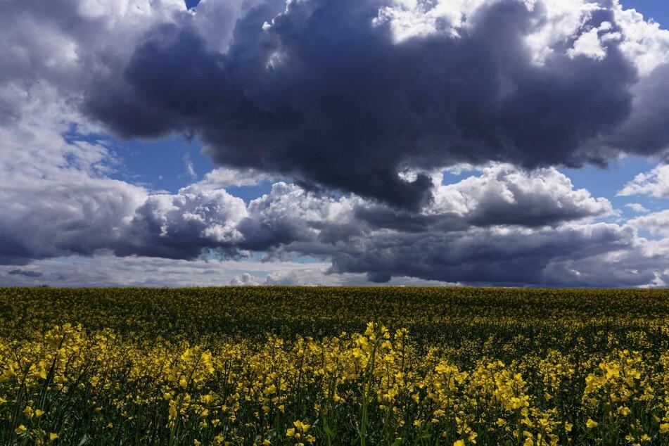 Dunkle Gewitterwolken türmen sich hinter einem Rapsfeld auf, auf das Sonnenstrahlen fallen. (Archivbild)