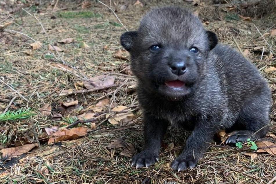 Wölfe: Sie dachten, es ist ein Hund: Touristen finden niedliches Tier im Wald und nehmen es mit