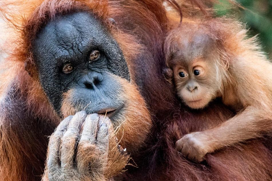 Hamburgs Orang-Utan-Baby Batu hat einen indonesischen Patenonkel