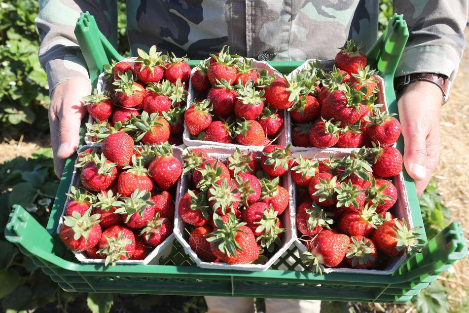 Darum war die Erdbeer- und Spargelernte in NRW so gering!