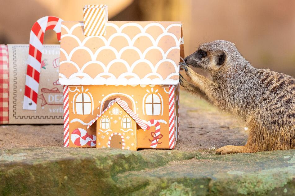 Ein Erdmännchen schaut sich im Erlebnis-Zoo Hannover neugierig ein Karton in Lebkuchenhaus-Optik an.