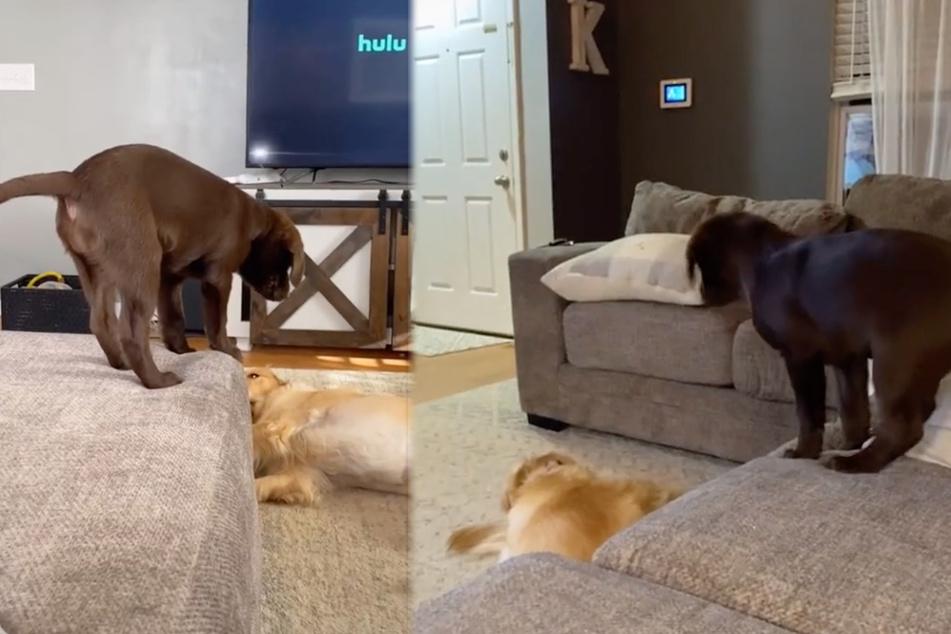 Das ganze Netz lacht darüber, was dieser Welpe mit dem anderen Hund macht
