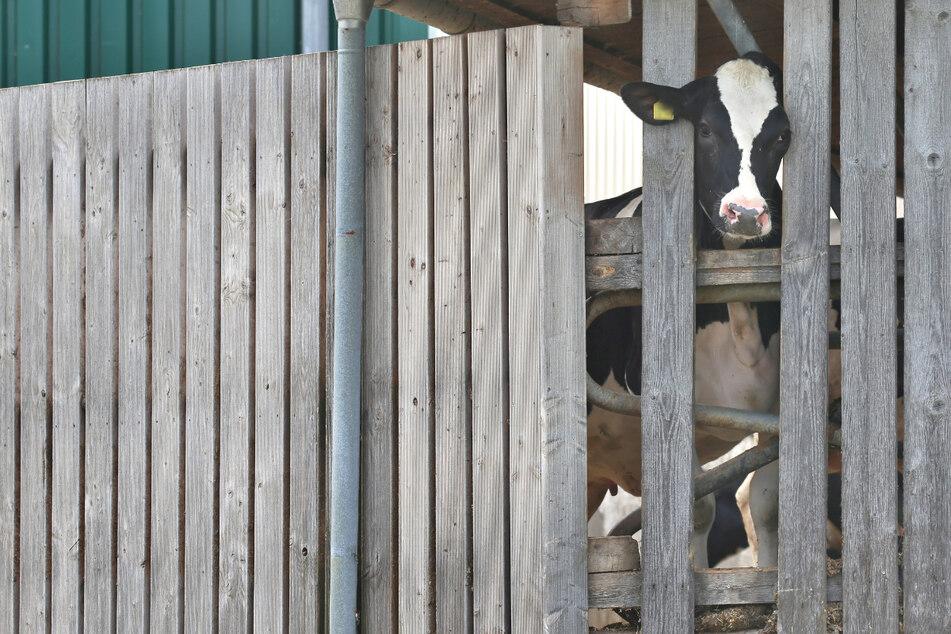 Eine Kuh in einem landwirtschaftlichen Großbetrieb im Allgäu streckt ihren Kopf durch die Holzlatten eines Stalls. Auf mehreren Höfen kam es zu massiven Tierschutzverstößen. (Archiv)