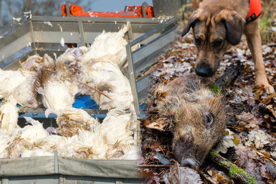 Tierseuchen, wie die Vogelgrippe oder die Afrikanische Schweinepest, werden immer häufiger aus dem Ausland nach Deutschland eingeschleppt. (Symbolfoto)