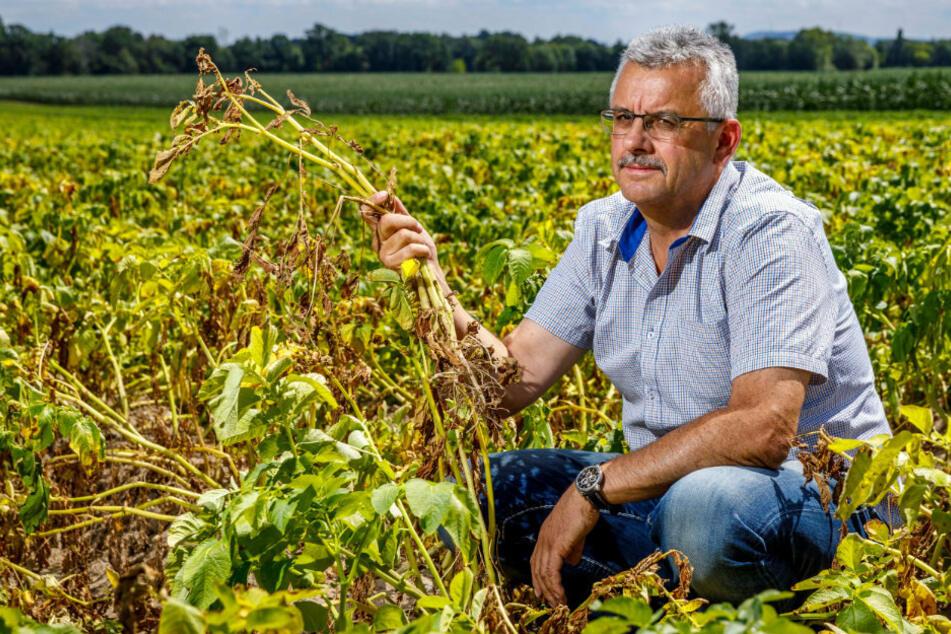 Die Kartoffelernte ist futsch: Sachsens Bauern leiden wegen Landratsamt