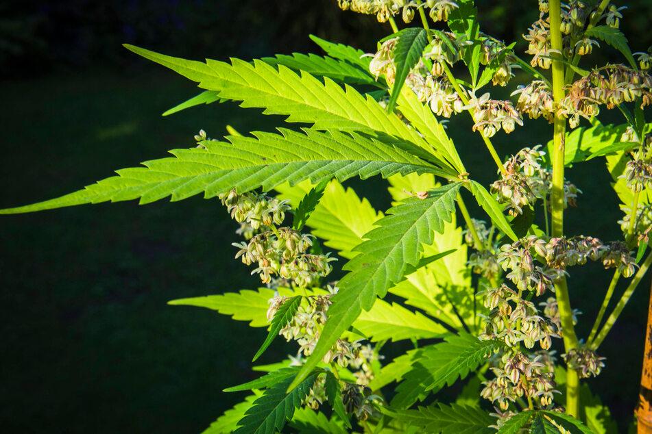 Up in smoke! Authorities destroy one million marijuana plants in California crackdown