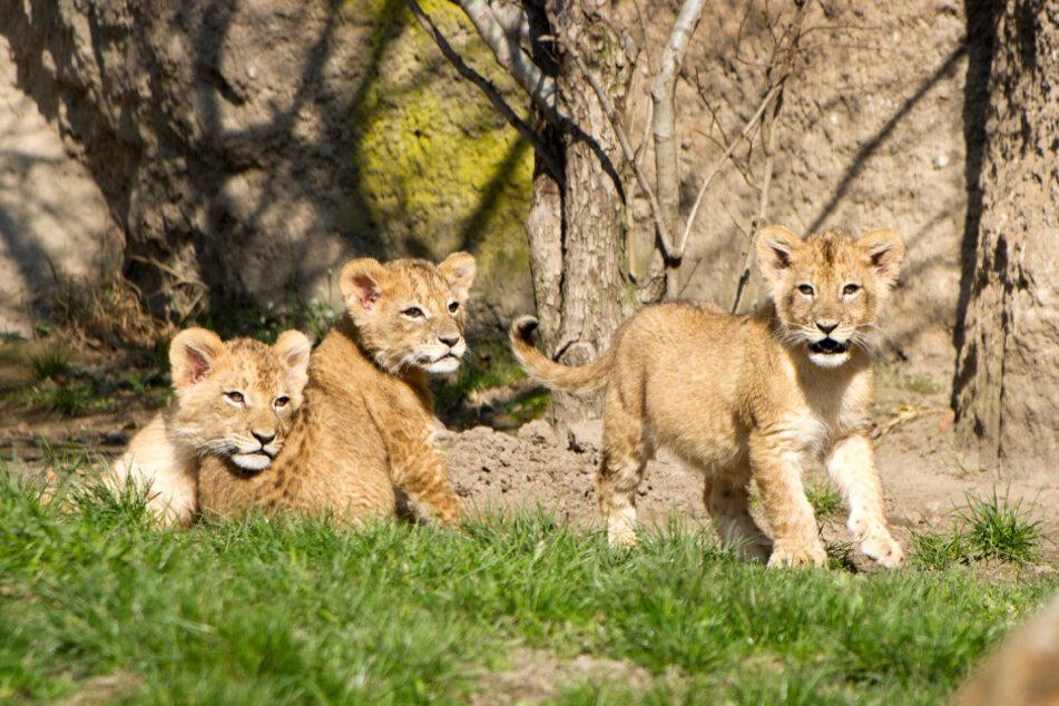 Sachsen: Drei Löwenjungtiere auf der Außenanlage im Leipziger Zoo.