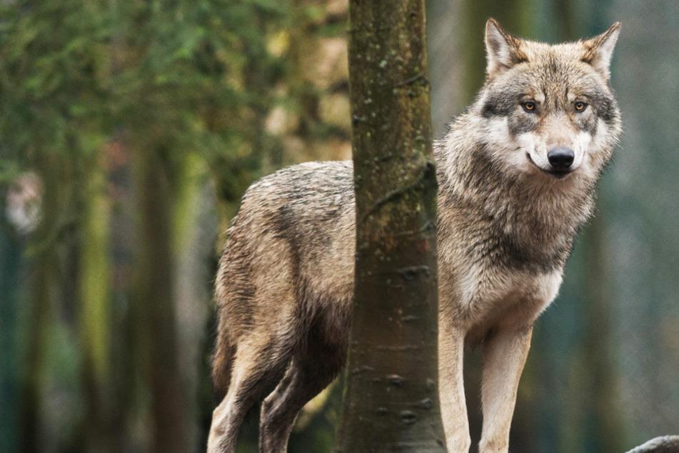 Der Wolf ist zurück in Hessen: Wie viele der Raubtiere sind hier sesshaft?