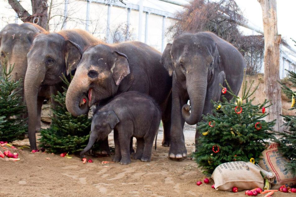 Weihnachten für die Elefanten: Süße Überraschung im Zoo Leipzig