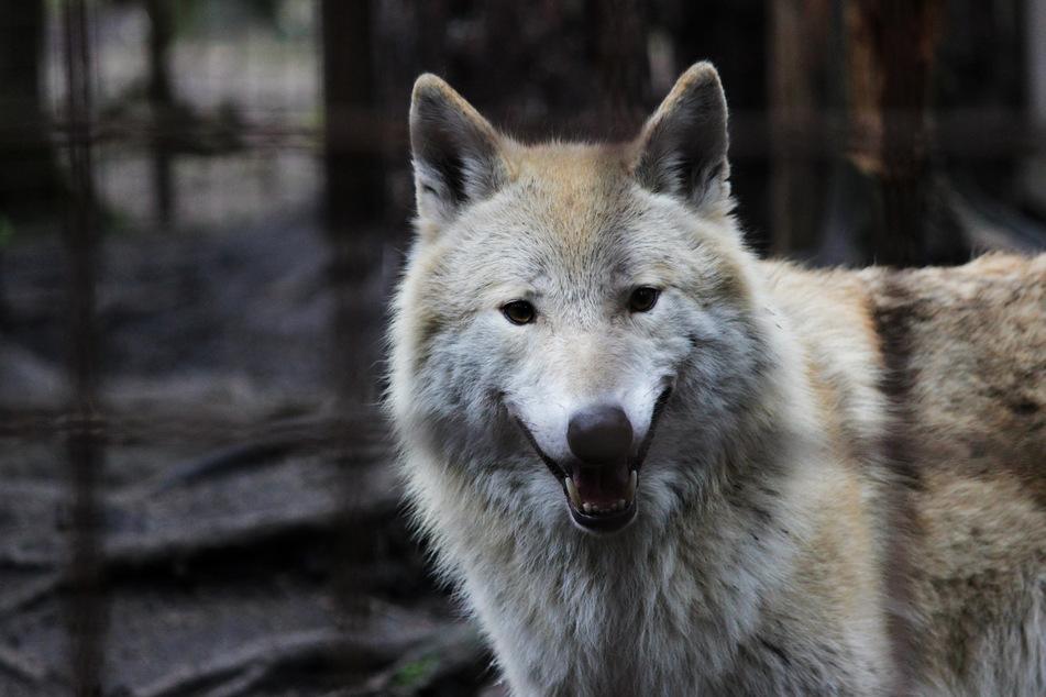 Mysteriöser Wolfshybrid folgt Wanderern in der Eifel über Stunden