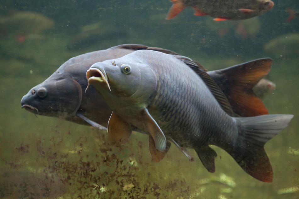 Rund 300 Kilo Fisch wurden entsorgt. (Symbolbild)