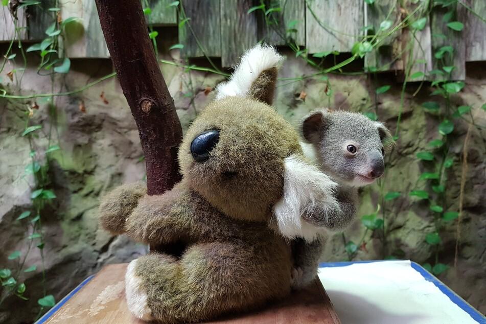 Im Duisburger Zoo ist ein Baby-Koala geboren worden. Beim Wiegen auf einer Waage darf es sich an einem Stofftier festhalten, das ihm Sicherheit gibt.