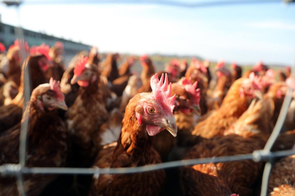 Für Hühner, Enten und Co. sind die Zeiten an der frischen Luft jetzt erstmal vorbei. (Symbolbild)