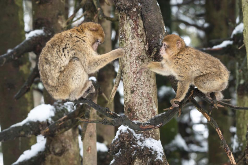 Kuscheln im Schnee: So läuft die Paarungszeit am Affenberg