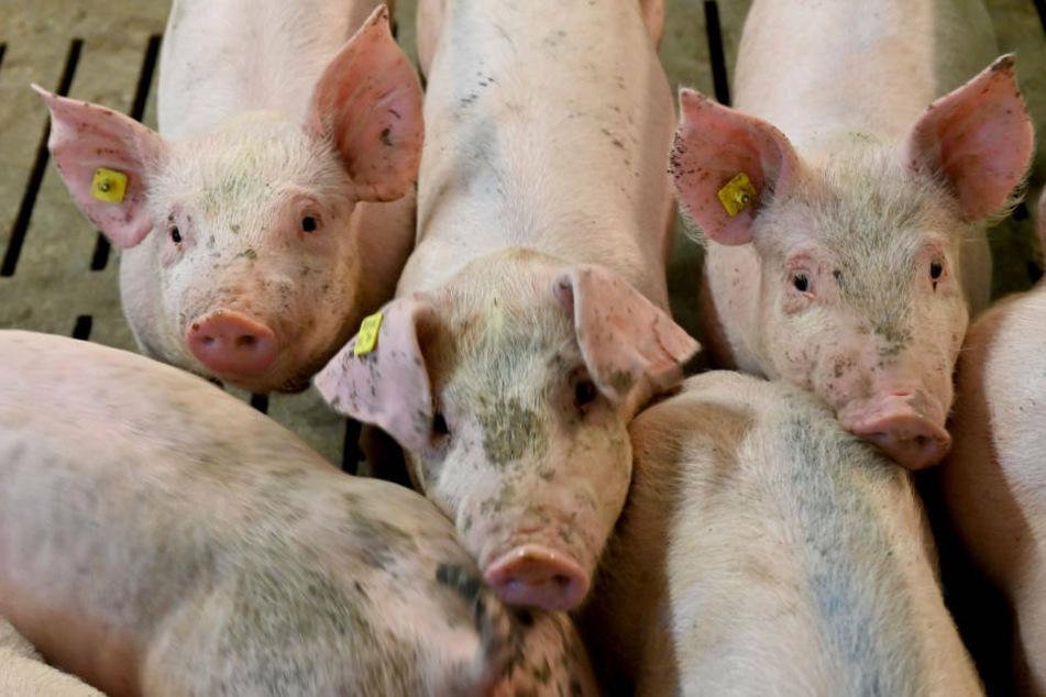 357 der insgesamt 607 im Mastbetrieb untergebrachten Schweine verendeten infolge Herz-Kreislauf-Versagens.