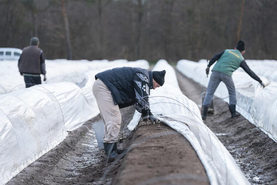 Arbeiter aus Rumänien ernten auf einem beheizten Feld Spargel.