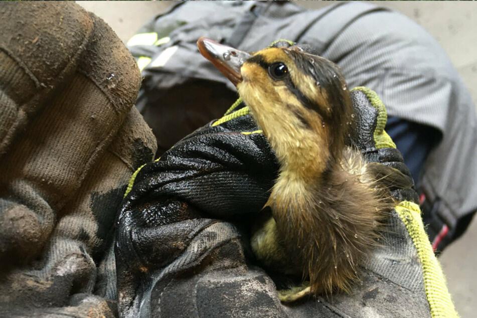 Feuerwehreinsatz in Tunnel: Süße Entenküken gerettet
