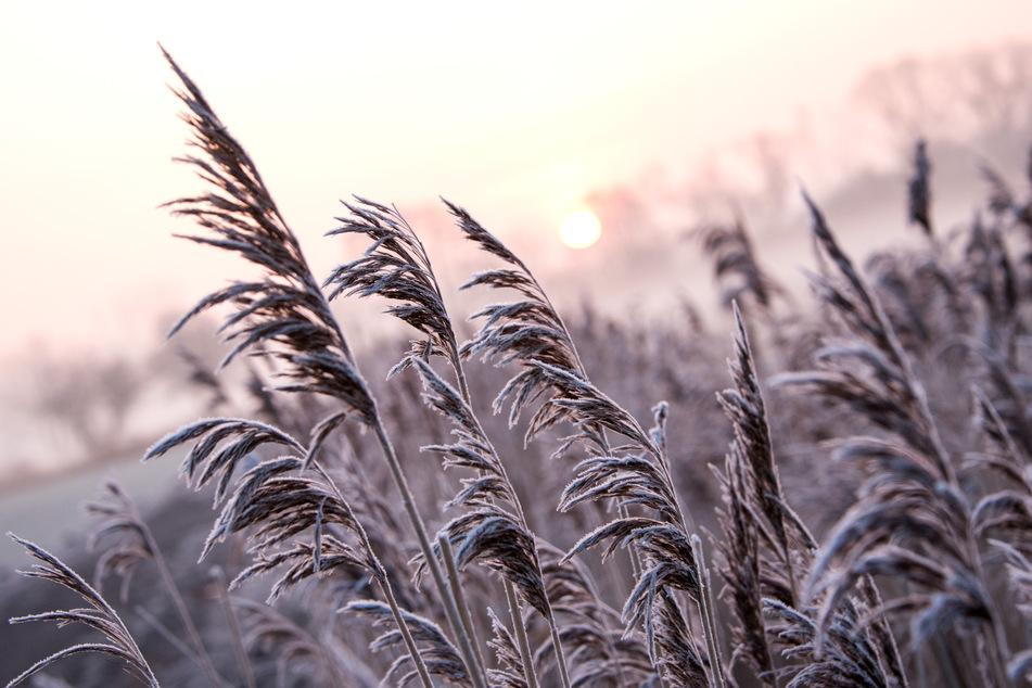 Hamburg: Schilf ist im Stadtteil Billwerder im Naturschutzgebiet Boberger Niederungbei Sonnenaufgang und leichtem Nebel mit Eis überzogen.