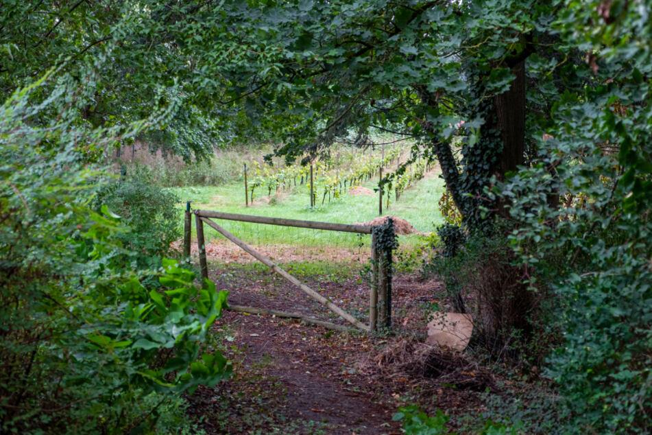 Der Weinberg in Celle liegt versteckt zwischen Bäumen nahe der Aller.