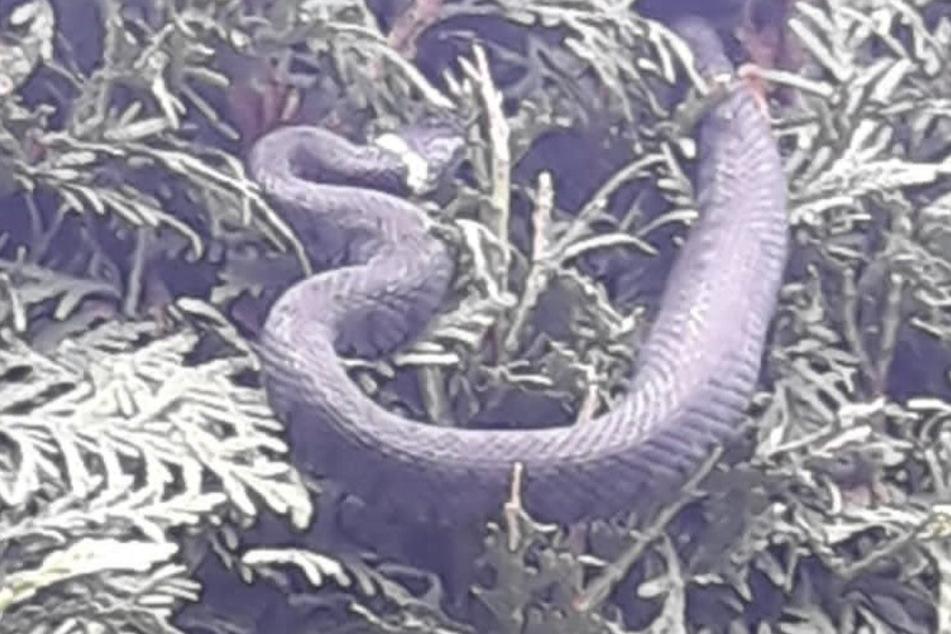 Bei dem Reptil handelte es sich um eine heimische Schlangenart, die dem Menschen nicht gefährlich werden kann.