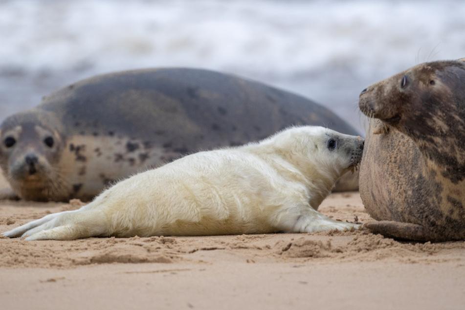 Putzige Robben-Babys auf Helgoland: Jetzt sind sie besonders anfällig