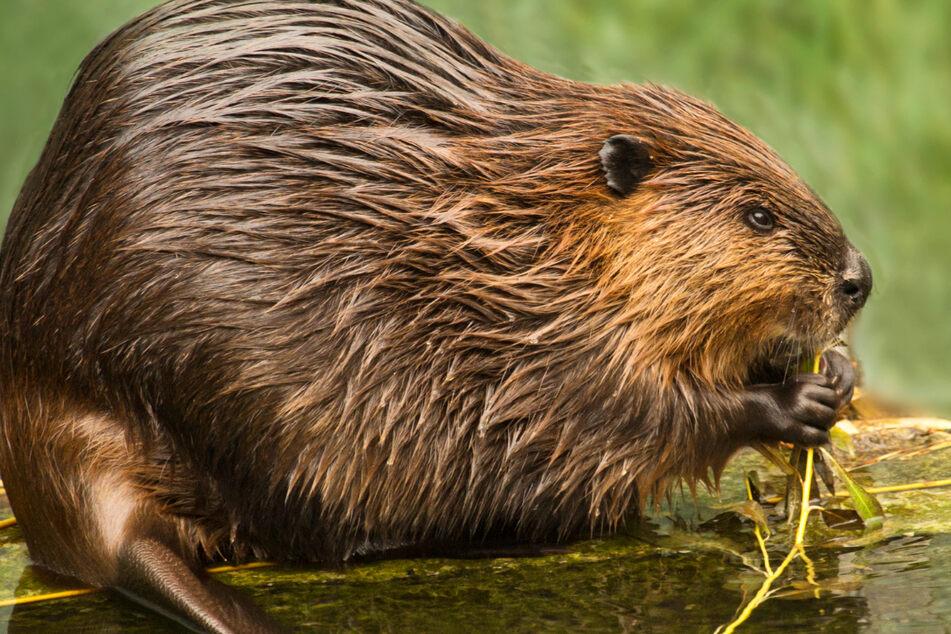 Der Biber-Bestand in Hessen wird auf rund 1000 Tiere in etwa 300 Biberrevieren geschätzt (Symbolbild).