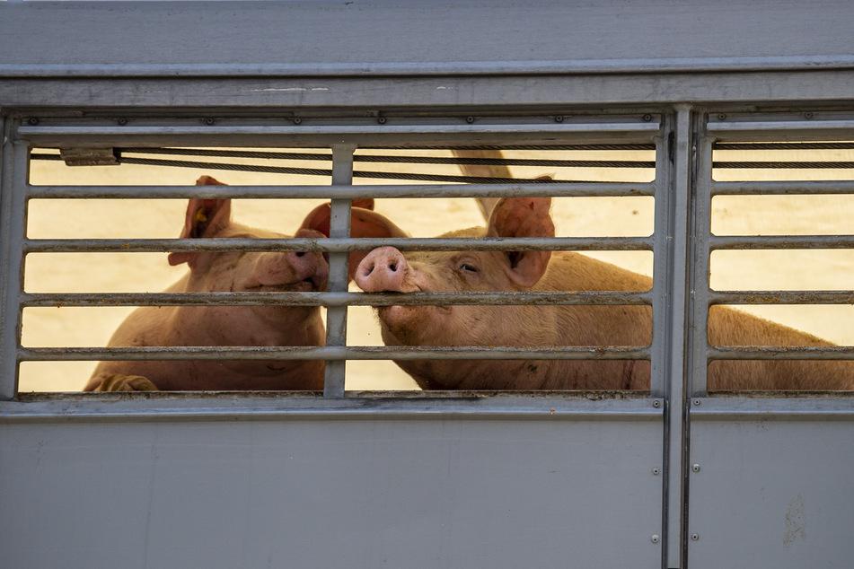 Zwei Schweine beißen in einem Transporter, der sie zu einem Schlachthof bringt, in das Gitter. (Archivbild)