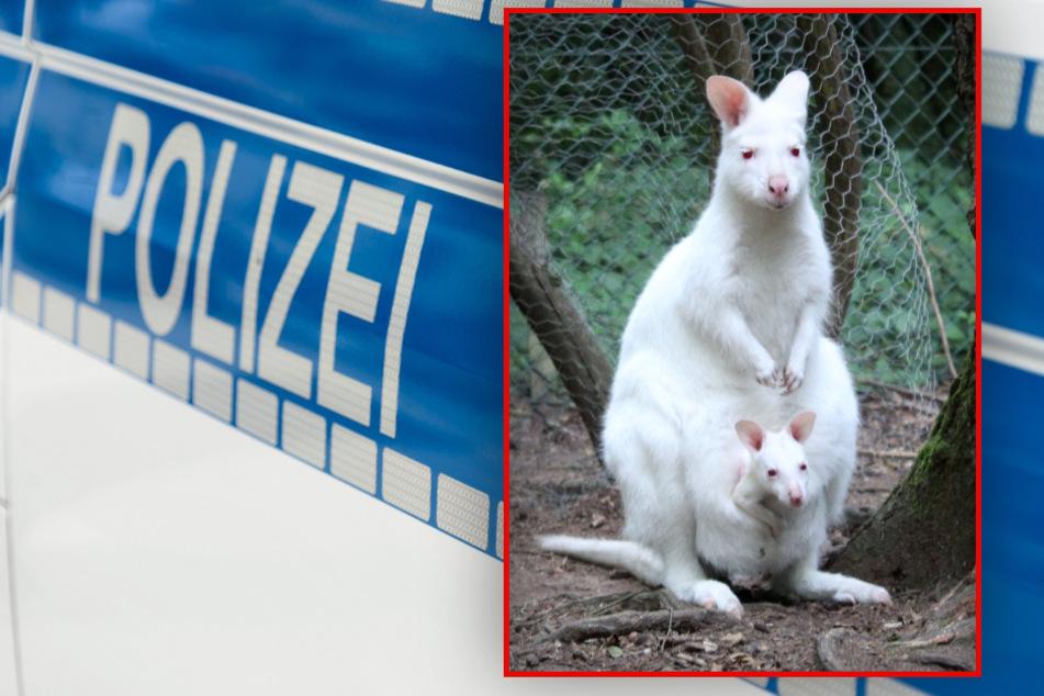 Seltenes Känguru-Baby weiter vermisst: Polizei trifft dramatische Entscheidung