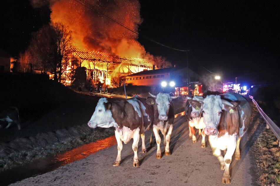 Rinder stehen vor einem brennenden Bauernhof auf einer Zufahrtsstraße.
