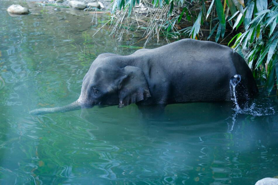 Nachdem der trächtige Elefant wegen einer mit Böllern gefüllten Ananas starb, wurde ein Mann festgenommen.
