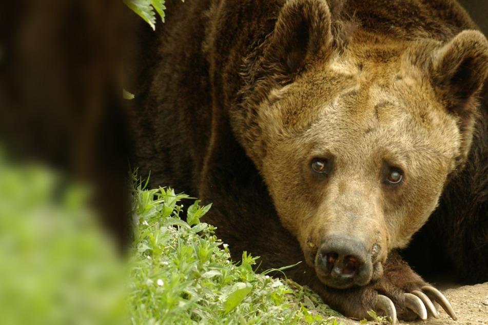Ringen mit Menschen und Tanzbär: Traurig, was dieses Tier alles erleiden musste