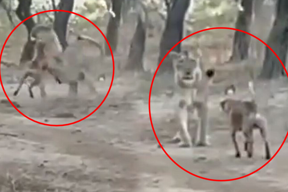 Dog vs. lion: crazy video shows who won the rumble in the jungle