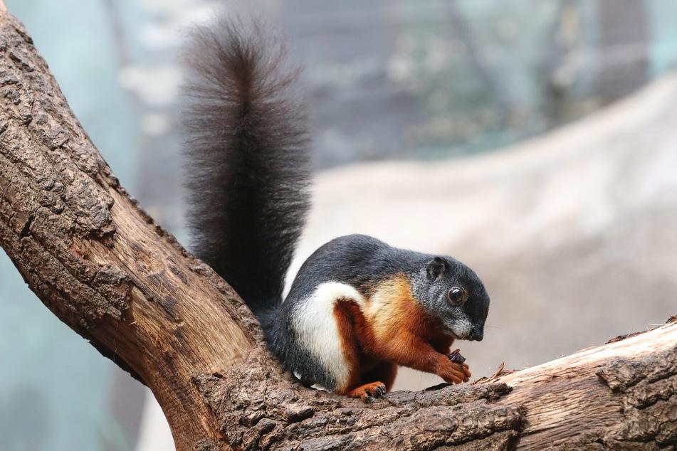 Prevost-Hörnchen zeichnen sich durch ihr prächtig gefärbtes Fell aus. Sie zählen zur Gattung der Echten Schönhörnchen.